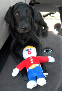 Black Labrador Retriever puppy named Gracie