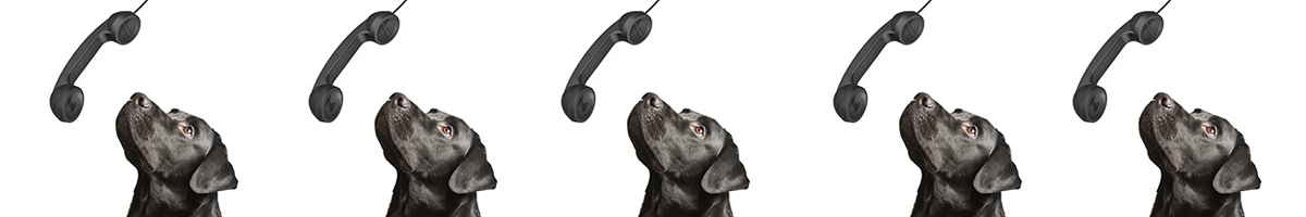 Black Labrador Retriever Looking Up at Telephone Receiver